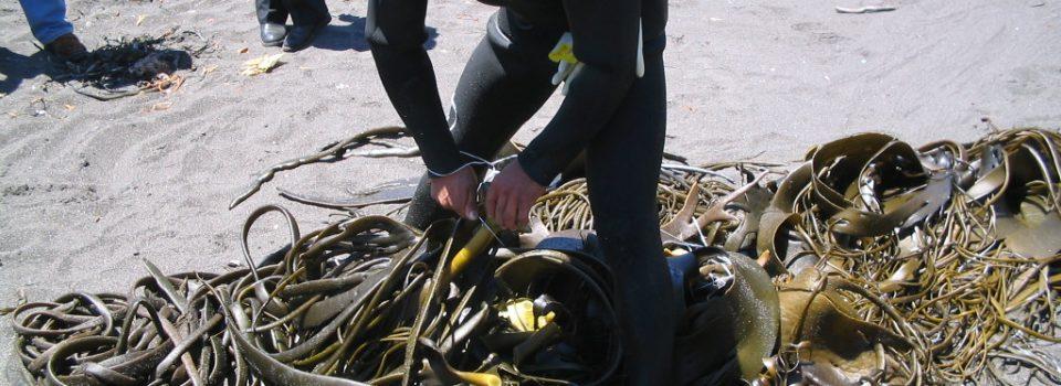 A octubre: Sector algas genera ventas por más de US$200 millones