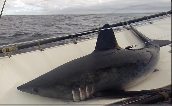 Violeta, tiburón hembra marcada satelitalmente entrega valiosa información de comportamiento de la especie