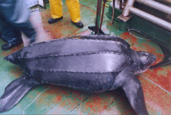 Investigadores del Instituto de Fomento Pesquero  presentan sus  trabajos en Simposio  internacional de tortugas marinas en Perú