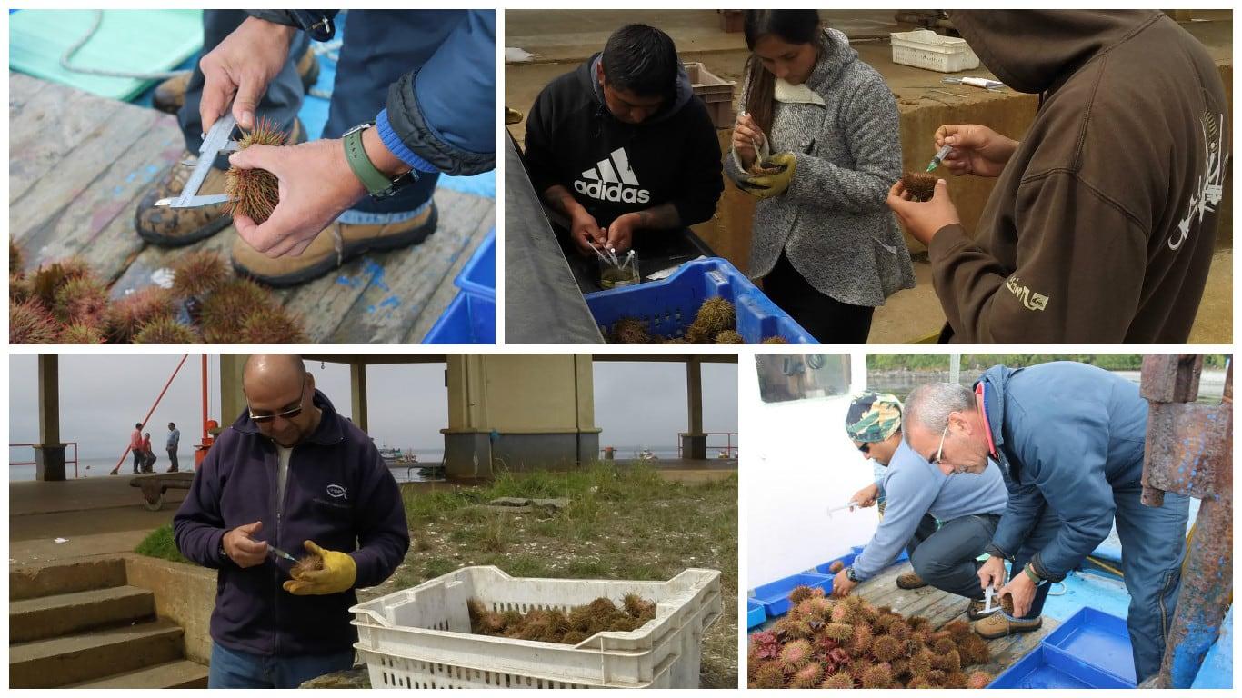 UACh y el IFOP colaboran en proyecto por la sustentabilidad del erizo