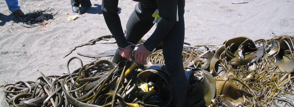 IFOP realiza proyecto que busca implementar el cultivo de algas marinas en Caleta Río Seco en Iquique