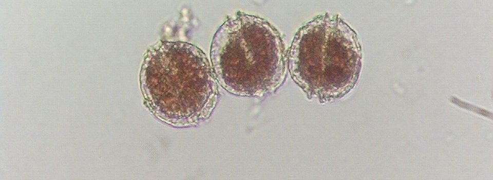 Investigadores de IFOP exponen en taller internacional sobre floraciones de algas nocivas