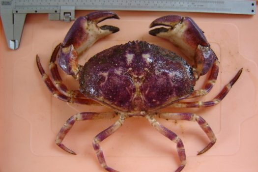IFOP develops an update project for biological and fishing parameters of Stone crab from central-south of Chile