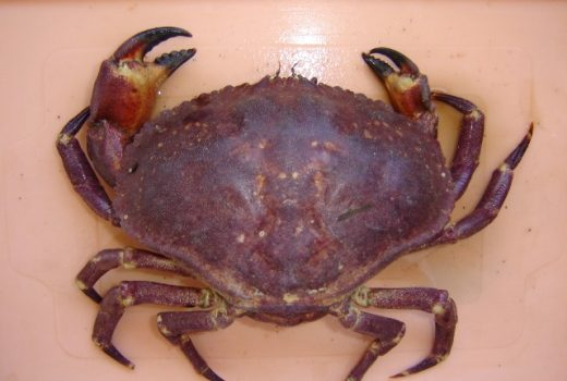 IFOP organizes panel of experts on crab
