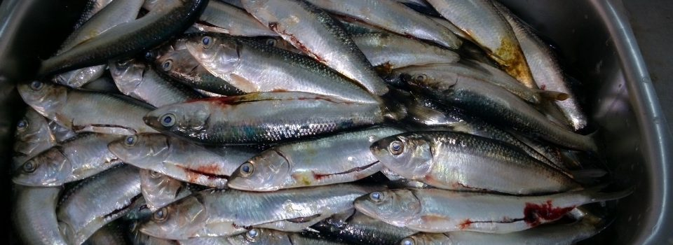 IFOP develops an intensive monitoring of sardine resource