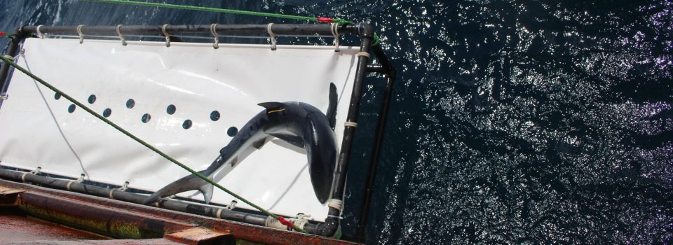 Traveler shark goes from Chile to New Zealand