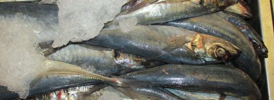 National and International Scientists met to improve Jack mackerel research.