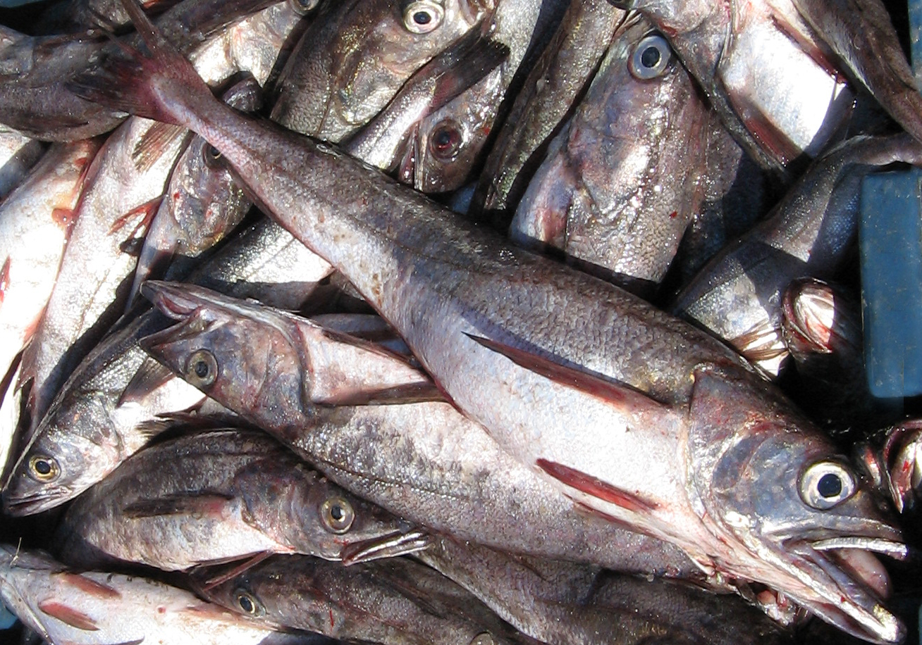 Chilean hake study will be held by Fisheries Development Institute
