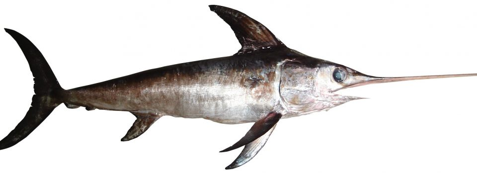 IFOP leads the first scientific expedition for satellite marking of swordfish in Chile