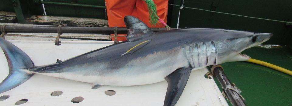 TNC e IFOP organizan Talleres FishPath para las pesquerías de tiburones Mako y Azulejo en Chile