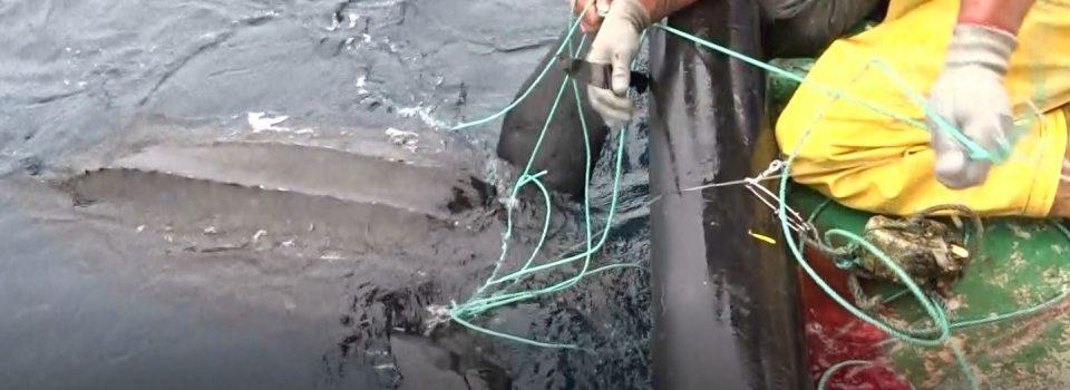 IFOP y MarViva se adjudican proyecto para reducir la captura incidental de tortugas laúdes en el Pacífico Oriental en pesquerías de espinel en el norte de Chile
