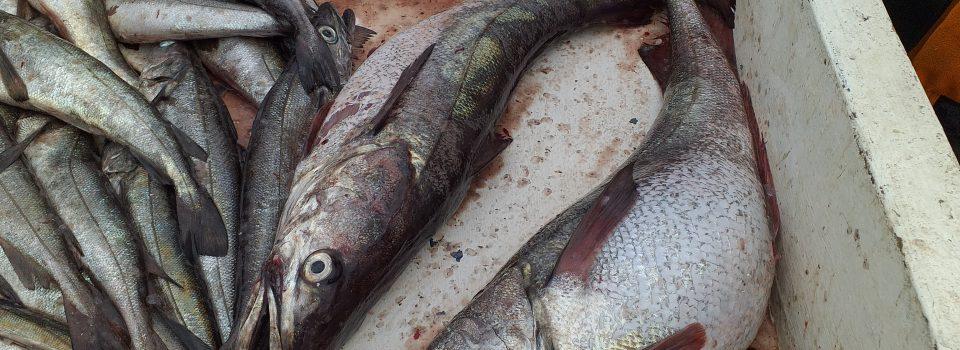 IFOP utilizará inteligencia artificial para optimizar la investigación pesquera a través de la identificación y clasificación de imágenes de peces